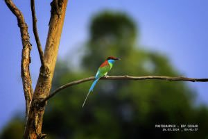 IMG_0233_1 Kirik-kirik Biru_Blue-throated Bee-eater_ (Merops viridis) Ery Cougar_ to Bangkirai