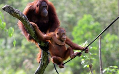 Samboja-orangutang-survival