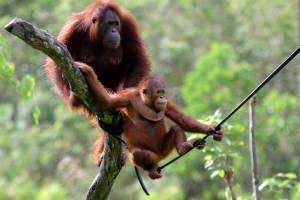 visit-myborneo-Orangutan-experience-2